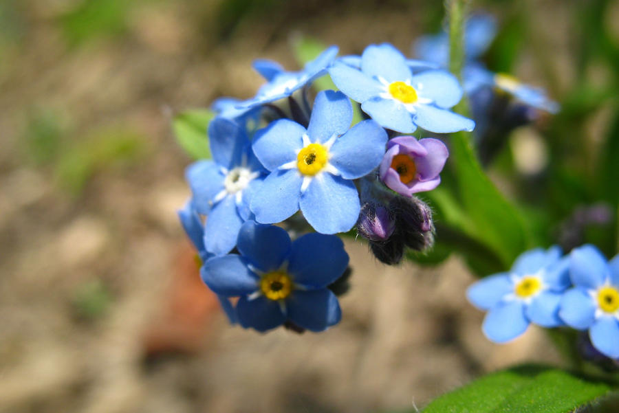 Tiny blue flowers with yellow centers images flower decoration ideas tiny blue flowers with yellow centers image collections flower tiny blue flowers with yellow centers images mightylinksfo