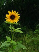 Sunflower 1 by AbsyntheMyndedArt
