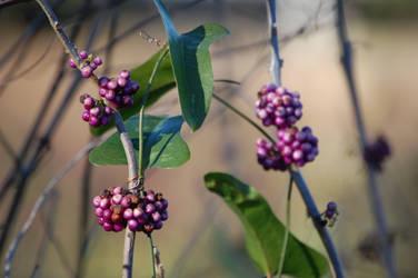 Purple Berries