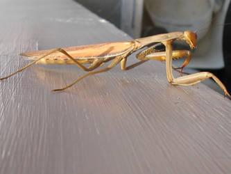 Mantis by sunsoar
