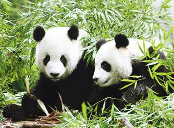 panda by liliyxxx