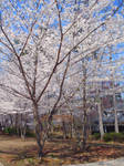 Flowering cherry. by new555