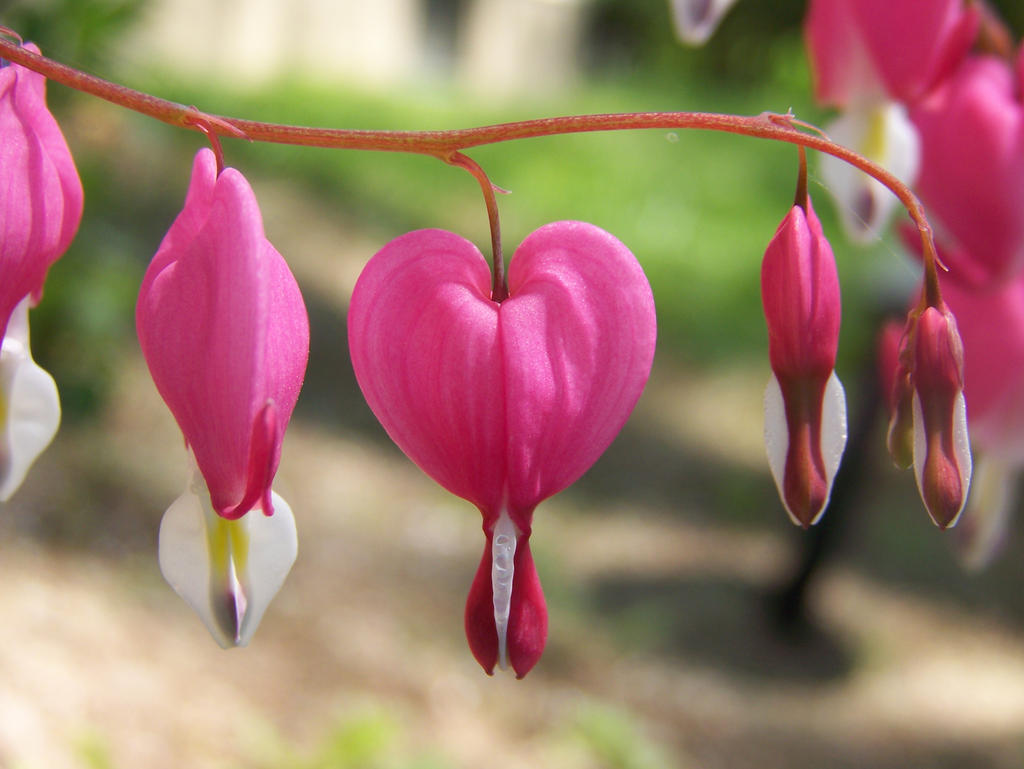 Bleeding Heart Plant By Starrycat On Deviantart