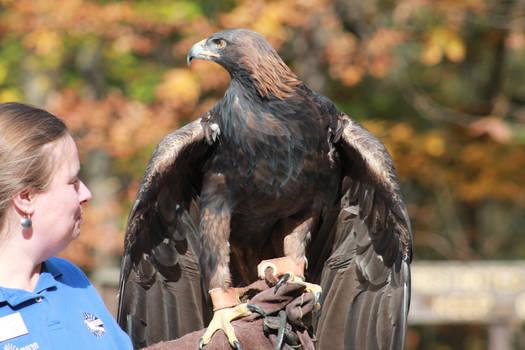 Golden Eagle 6