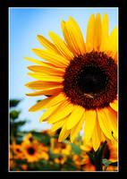 sunflower 1 by StudioBe