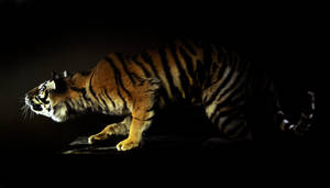 Tiger 4 by Meddling-With-Nature
