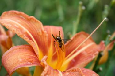 Syrphidae I