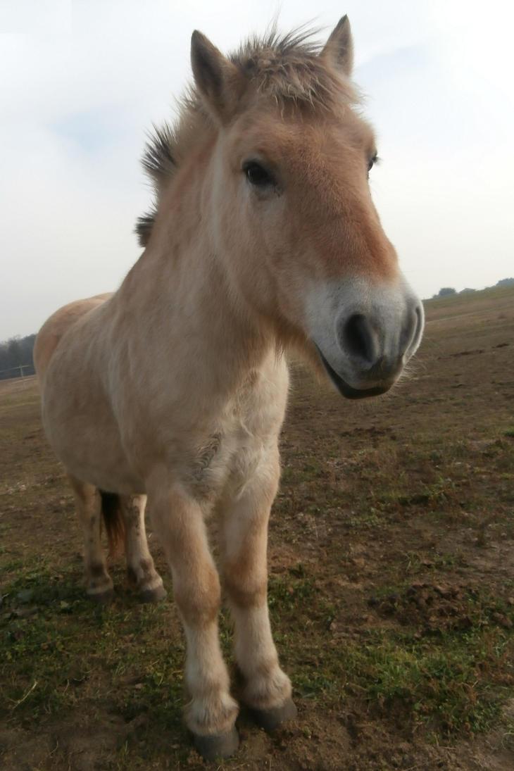 Fjord horse by Nekoazuma