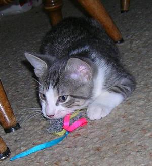 Kitten-Rascal
