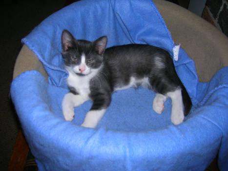 Kitten-Sherlock