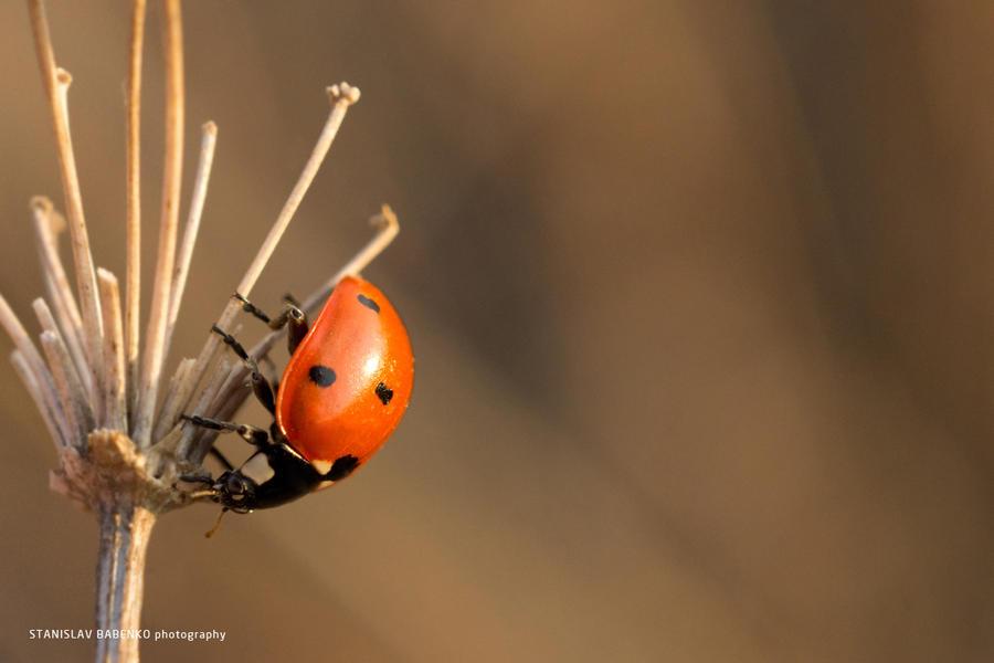 Ladybug by BitterWull