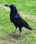Crow by Clangston