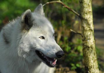 Wolf in Birch Forest by Austinii