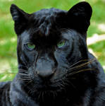 Panther by Austinii