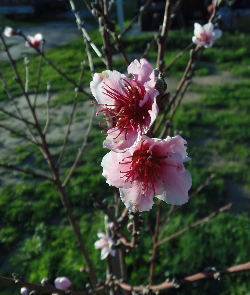 Peach blossoms by CFStudios