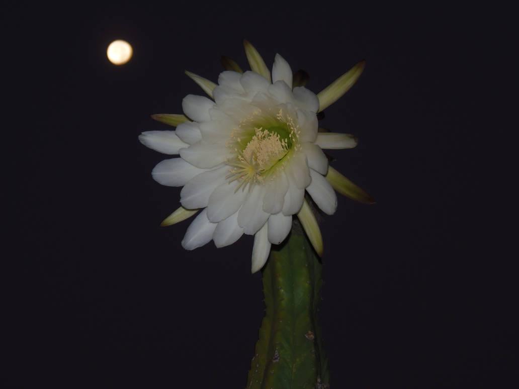 San Pedro cactus bloom under a gibbous moon by CFStudios