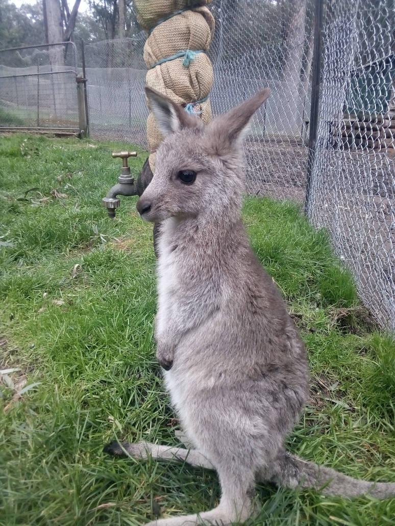 Eastern grey kangaroo joey 1 by Jokerfan79