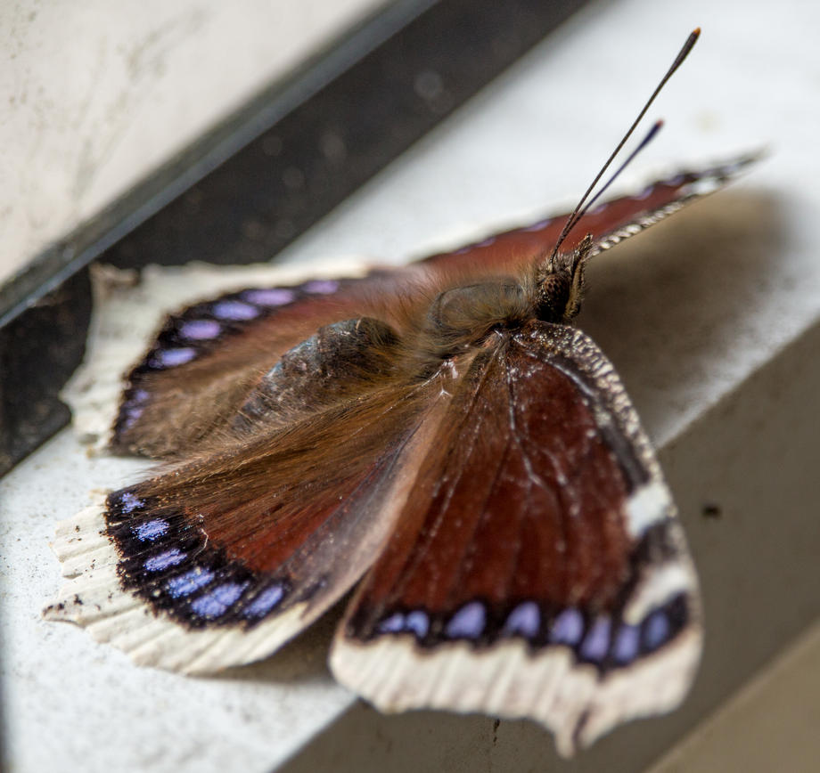 Mourning Cloak by ylis