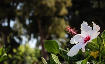 Egyptian Flower