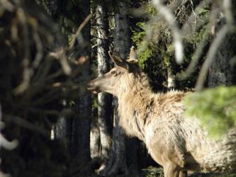 Female Elk 262 by moonKisseDwolf