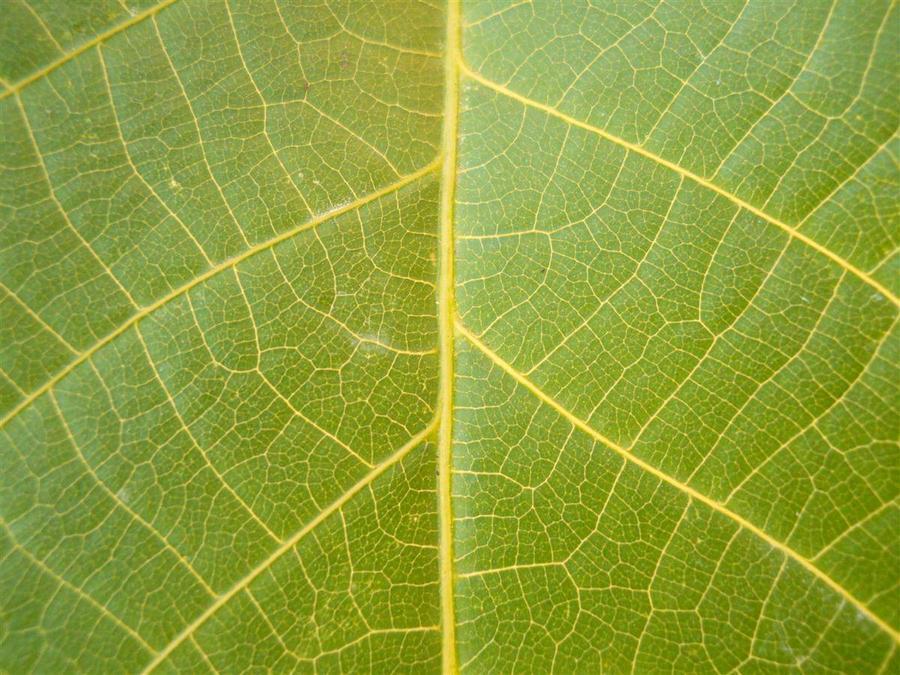 Wallnut Tree Leaf Texture