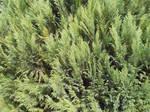 Pine Tree Foliage Texture
