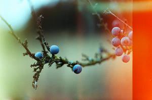 Blaue Beeren by kearone