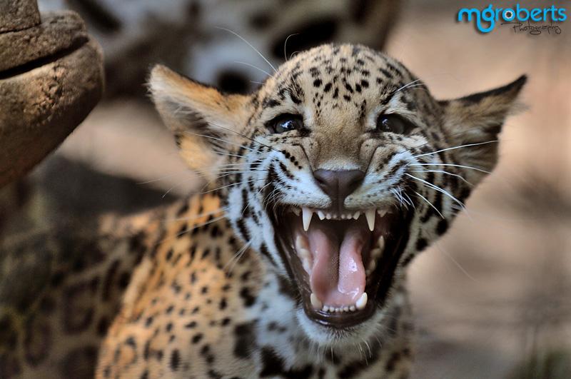 Baby Jaguar? or Baby Vampire? by mgroberts