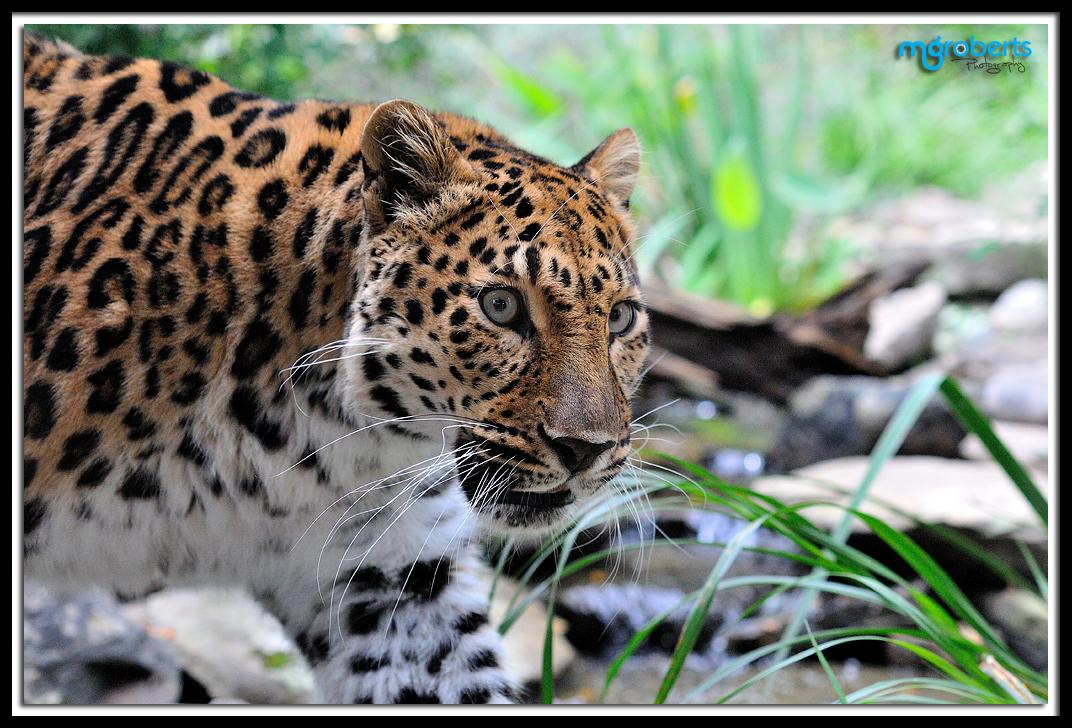 Amur Leopard 3020 by mgroberts