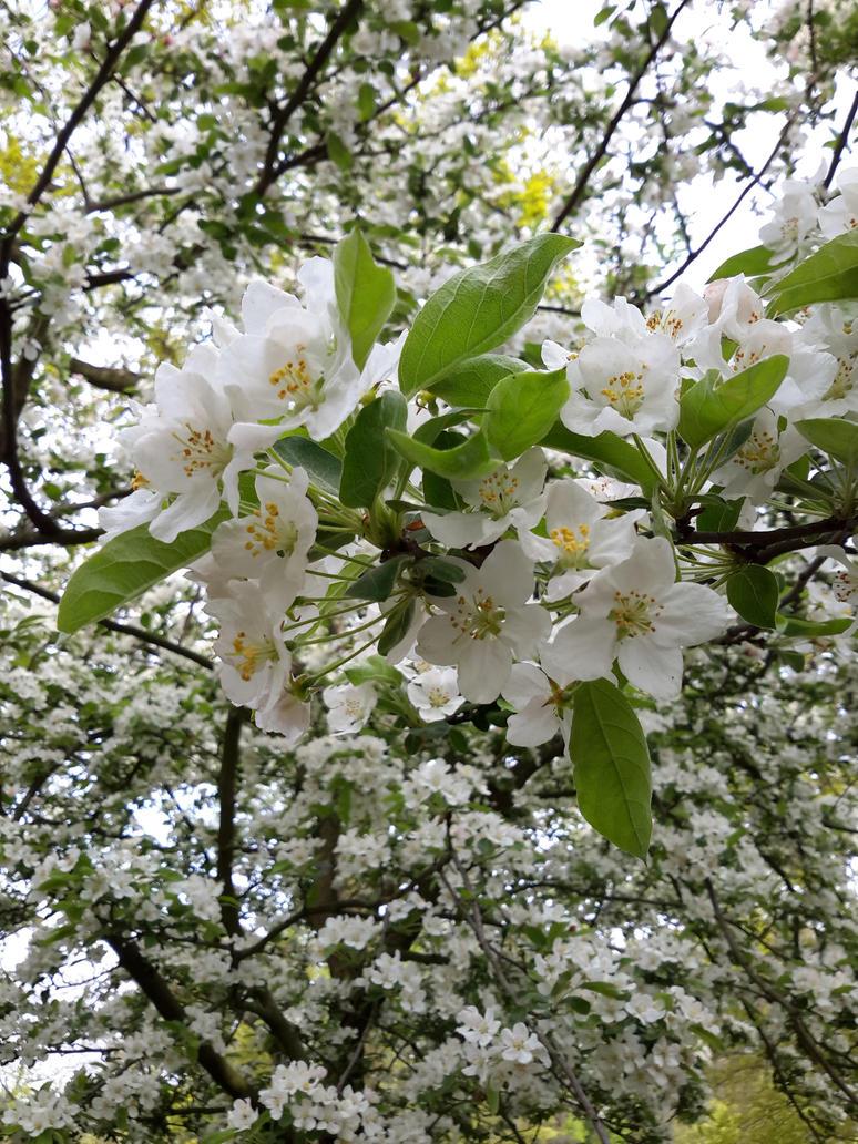 White Blossoms by yumichi-yuki