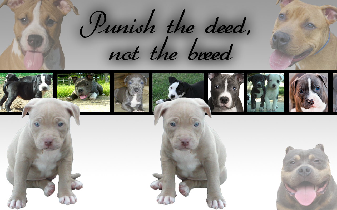 Pitbull dog puppies