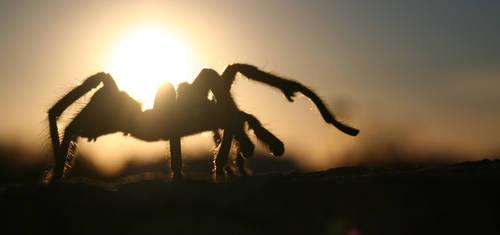 Tarantula by freddyfivemiles