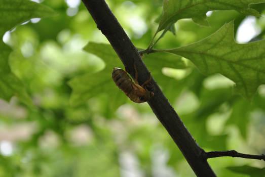 Molting Cicada 2