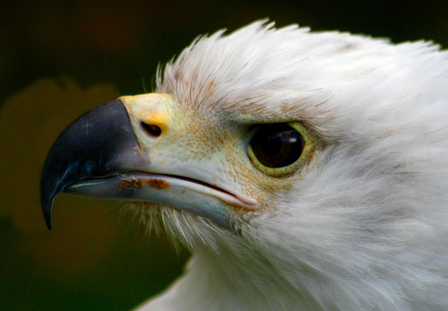 Fish Eagle 3 by Tinap