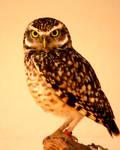 Burrowing Owl 3