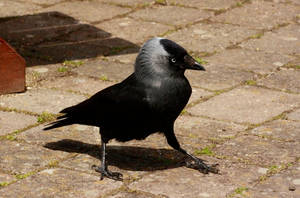 Confident Jackdaw by Tinap