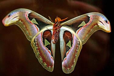 Atlas Moth by Tinap