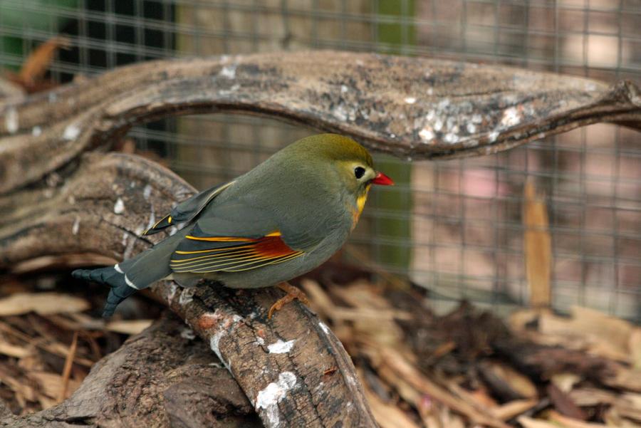 Pekin Robin by Tinap