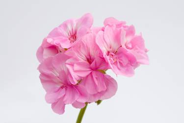 Beautiful Pink by jackpearceblog