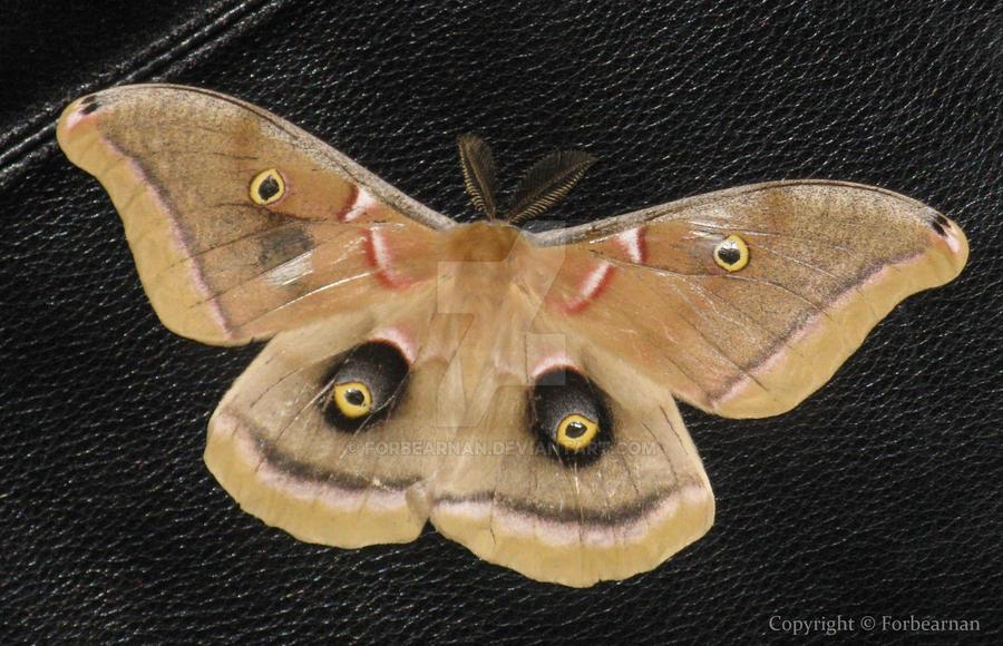 Antheraea polyphemus by Forbearnan