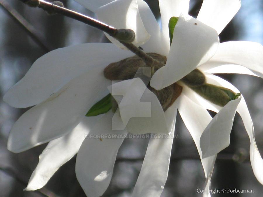Star Magnolia by Forbearnan