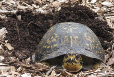 Box Turtle by Forbearnan
