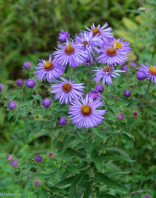 Purple Flowers by Forbearnan