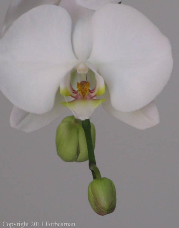 Orchid 1 by Forbearnan