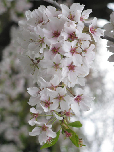 Cherry Cluster III by Forbearnan