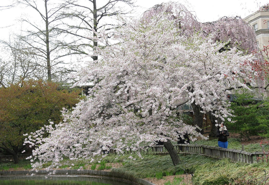 White Cherry Tree by Forbearnan