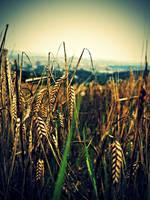 wheats by DanielGliese