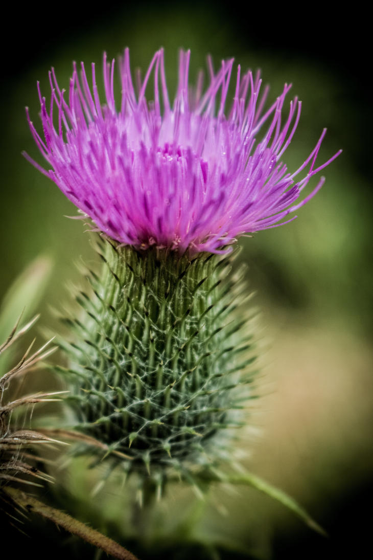 thistle and weeds by DanielGliese
