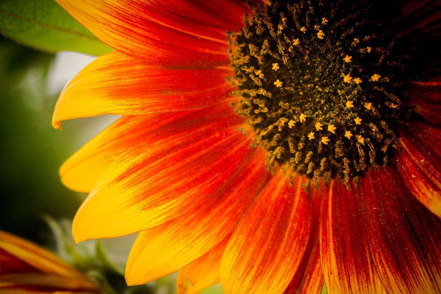 Flower of the rising sun by DanielGliese