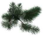 Pine Tree Branch 2, Png Overlay.